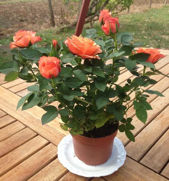 La fleur inverse dans actualités rosier-orange