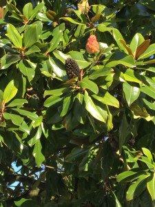 Magnolia Père Lachaise