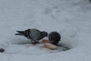 Pigeons neige 2