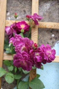 rose Bury